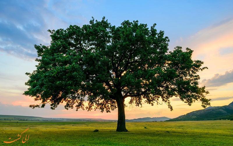 درختان بلوط ایران؛ نیازمند دستانی برای نجات
